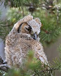 Great Horned Owl Chick, Grand Teton National Park