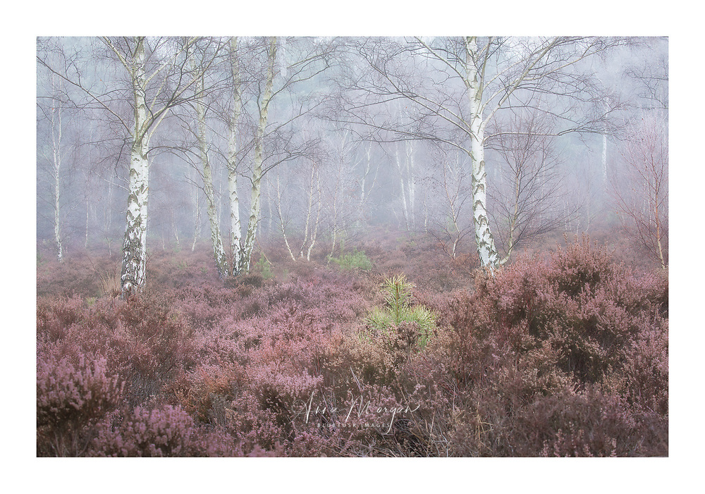 Winter, foggy scene of heathland with subtle pink heather and bare birch trees