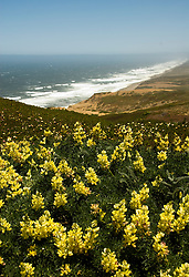 California: Yellow lupines at Point Reyes National Seashore near San Francisco. Photo copyright Lee Foster. Photo # casanf81226