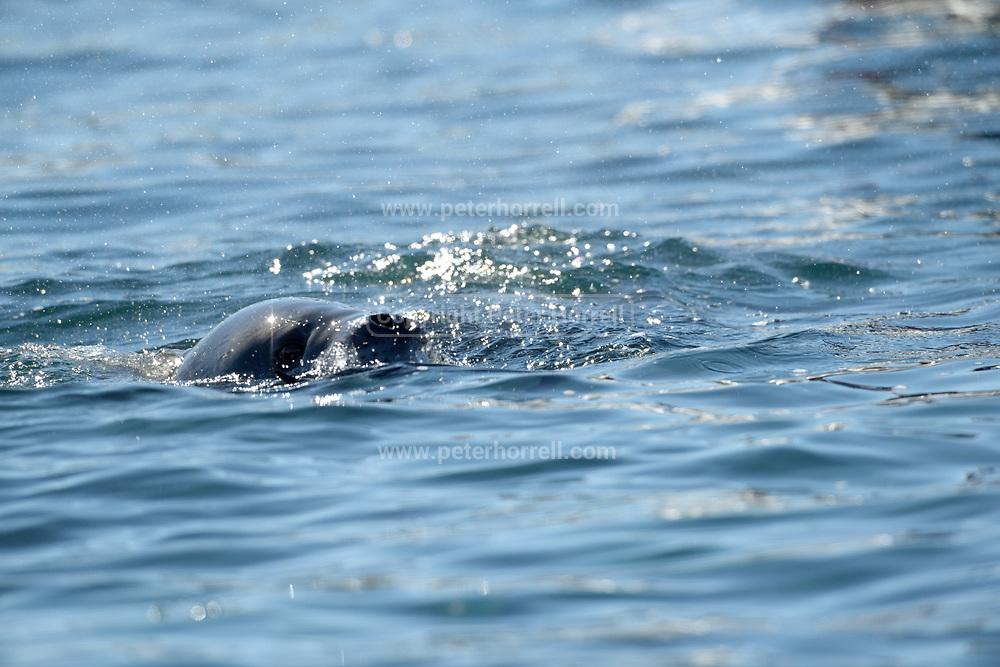 A Leopard seal surfaces near Esperanza Station on Thursday 15 February 2018.