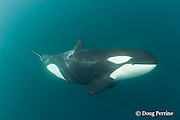 Orca, or killer whale, Orcinus orca, underwater, North Island, New Zealand ( South Pacific Ocean )