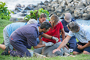 volunteers Jeff Reiner (right) and Kathy Frost restrain a recently weaned 56 day old male Hawaiian monk seal, Neomonachus schauinslandi, while NOAA researcher Mark Sullivan glues a GPS satellite transmitter onto the fur on the seal's back at Keokea Beach Park, Niulii, North Kohala, Hawaii Island ( the Big Island ), Hawaii, U.S.A., (9 days after pup was weaned); marine mammalogists Lloyd Lowry, Michelle Barbieri, and Tracy Wurth look on in back