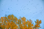 A murder of crows (Corvus brachyrhynchos) flies over autumn trees as the birds approach their roost in Bothell, Washington. As many as 15,000 crows use the roost each night during the fall and winter months.