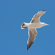 Seagull flying close-up