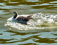 Graylag Goose (Anser anser). Viewed from the deck of the MV Explorer transiting the Keil Canal in Germany. Image taken with a Nikon N1V2 camera and 80-400 mm VR lens.
