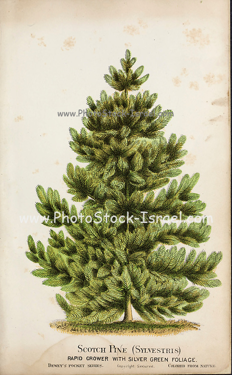 Scotch Pine (Sylvestris) with Silver green foliage from Dewey's Pocket Series ' The nurseryman's pocket specimen book : colored from nature : fruits, flowers, ornamental trees, shrubs, roses, &c by Dewey, D. M. (Dellon Marcus), 1819-1889, publisher; Mason, S.F Published in Rochester, NY by D.M. Dewey in 1872