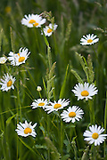 Daisy flowers amongst grass, Oxfordshire,  United Kingdom