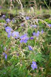 Meadow Cranesbill by a dry stone wall in Gloucestershire. Geranium pratense