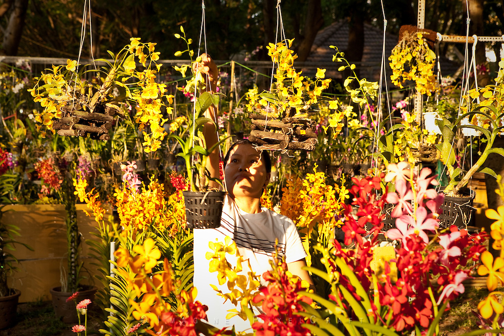 Flowers being set out for display and sale at the Ho Chi Minh City annual Flower Fair. A tradtional Tet festival.