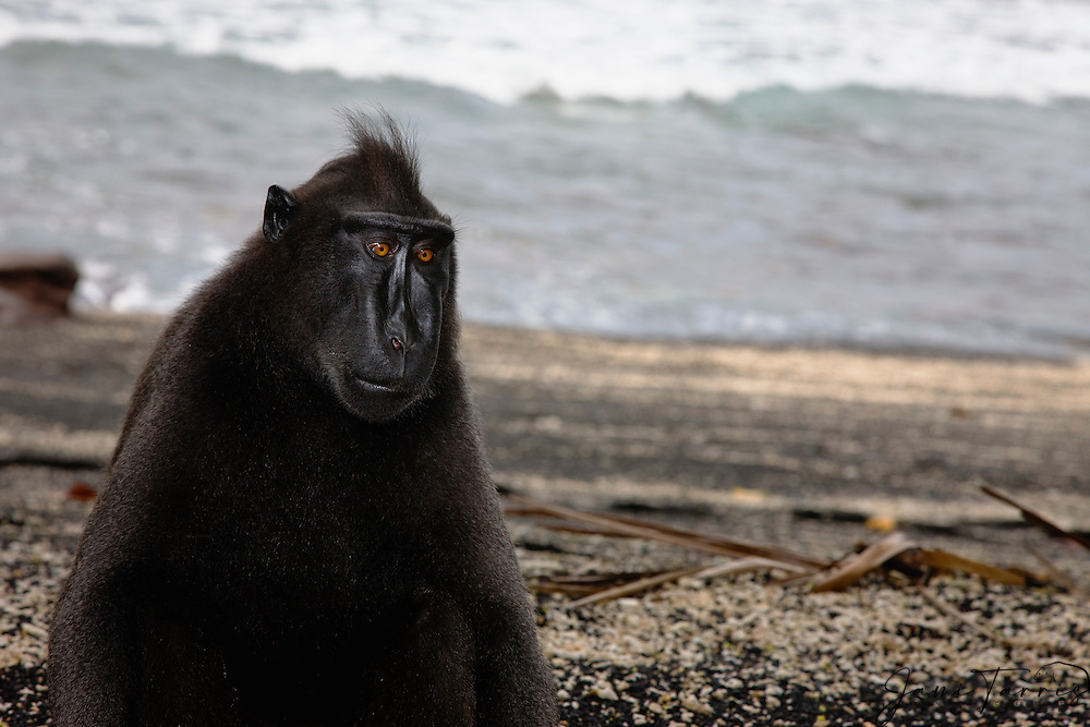 A male Celebes Crested Macaque (Macaca nigra) sitting on a black sand beach, Sulawesi, Indonesia