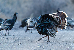 Backlit wild tom turkey strutting (Meleagris gallopavo) on road , Ladder Ranch, west of Truth or Consequences, New Mexico, USA.