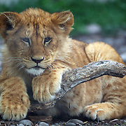 A lion cub at Orana Wildlife Park, Christchurch. Set on 80 hectares, Orana Wildlife Park is New Zealand 's only open range zoo. .Over 400 animals from 70 different species are displayed. Mcleans Island Road, Christchurch, New Zealand. 9th June 2011. Photo Tim Clayton.