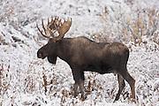 Wyoming bull moose in the snow (Alces alces shirasi)