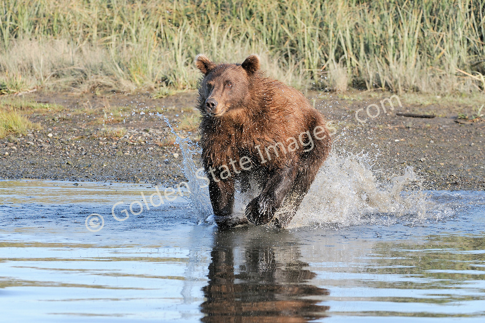 Sow makes a charge for a salmon. All it takes is a few ripples on the surface and a brown bear will come running.    <br /> <br /> Brown Bears and Grizzly Bears are the same species. In general Bears living within 50 miles of the coast are considered browns. Animals living further inland are considered Grizzlies.  <br /> <br /> Grizzlies are omnivores feeding on a variety of plants berries roots and grasses in addition to fish insects and small mammals. Salmon are a key part of their diet. Normally a solitary animal they will congregate along streams and rivers during Salmon runs. Weight to over 1200 pounds.    <br />  <br /> Range: Native to Asia Africa Europe and North America. Now extinct in much of their original range.    <br />   <br /> Species: Ursus arctos