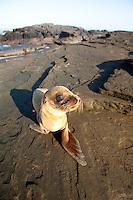 Baby Galapagos Sea Lion on beach in the Galapagos Islands, Ecuador.