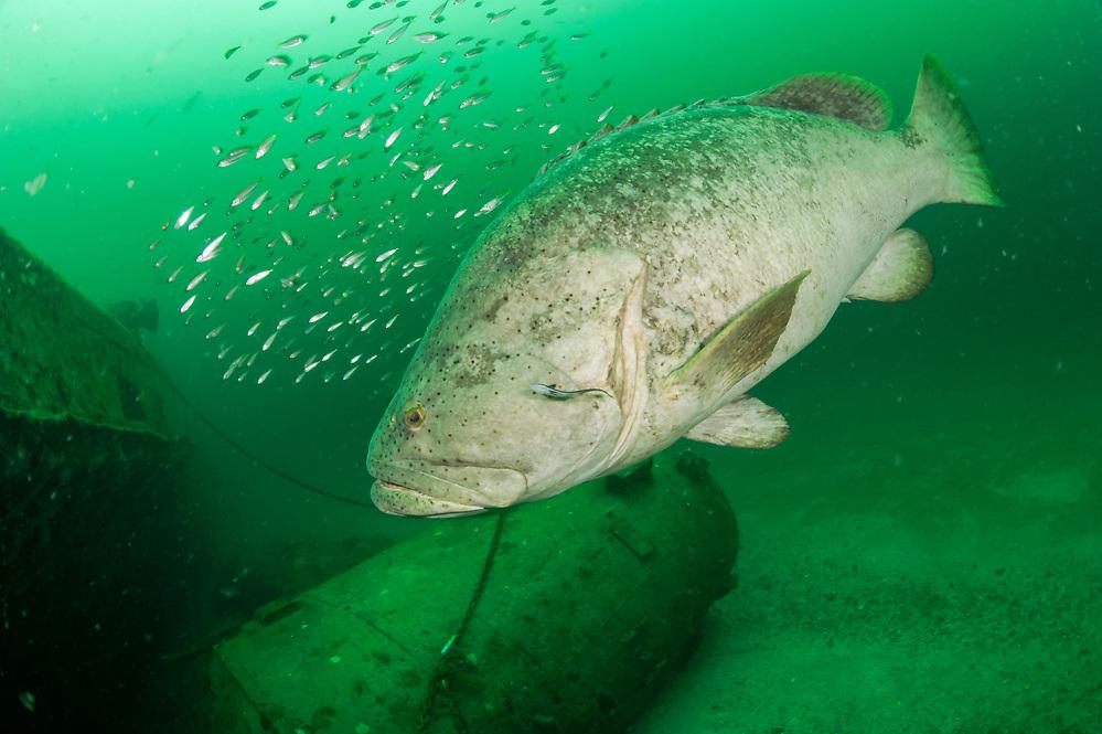 Goliath Grouper, Epinephelus itajara, and Cigar Minnows, Decapterus punctatus, swim side by side near the shipwreck Danny offshore Singer Island, Florida, United States.