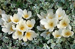 Colchicum speciosum 'Album' (Autumn crocus) amongst Helichrysum petiolare 'Variegatum' at Great Dixter.