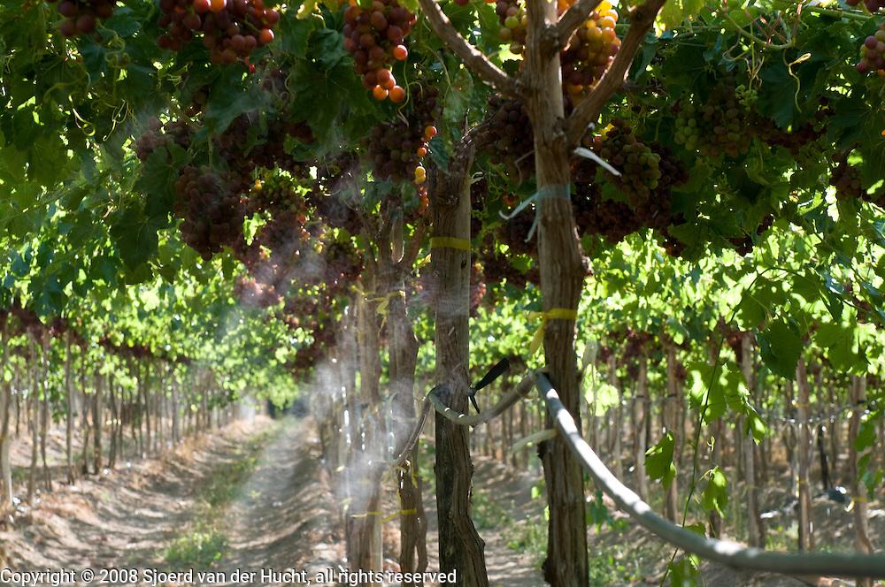 Grape culture near Vicuña, Chile