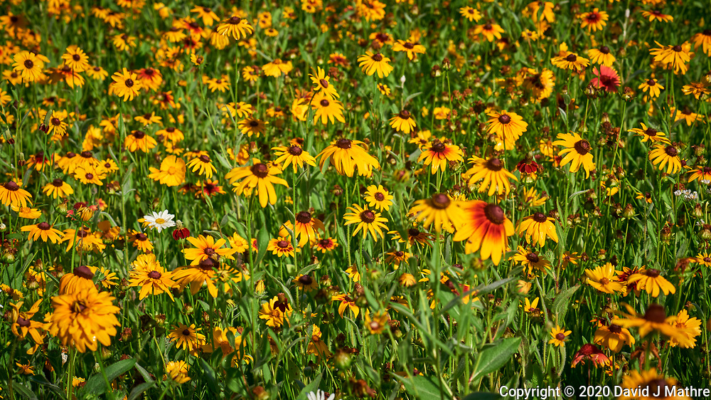 Black-eyed Susan. Image taken with a Nikon D810A camera and 105 mm f/2.8 macro  VR lens