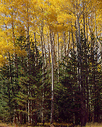 Aspens in fall and spruce on the Colorado Plateau in northern Arizona
