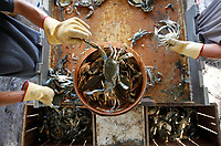 www.shawnrocco.com<br /> www.cellularobscura.com<br /> 919-812-8291<br /> shawnrocco@gmail.com<br /> <br /> <br /> <br /> Adrian Garcia, left, and Justin Burbage separate blue crabs in a makeshift operation in Pamlico Beach on September 8, 2011, after the building they worked in was destroyed by Hurricane Irene. According to crabber Mike Hopkins the catch was good the first few days after the storm as crabs were pushed further up the Pamlico River but almost two weeks later he's noticed a dramatic drop in the numbers. He lost a larger boat and a few thousand dollars worth of crab pots and hopes the oyster season won't be ruined as well.