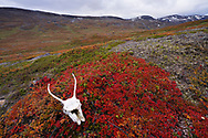 Reindeer cranium or skull, on the red leaves of the he alpine bearberry, mountain bearberry, or black bearberry, Arctostaphylos or Arctuo alpinus, Kårsavagge, Abisko National Park, Norrbotten, Lapland, Sweden