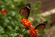 Two Plain Tiger (Danaus chrysippus) AKA African Monarch Butterflies on a Lantana (verbena) flower Photographed in Israel, in September
