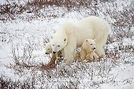 01874-109.18 Polar Bears (Ursus maritimus) female & 2 cubs near Hudson Bay, Churchill  MB, Canada