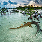 Two nurse sharks (Ginglymostoma cirratum) in a courtship dance at sunrise in a mangrove area near Eleuthera, Bahamas.