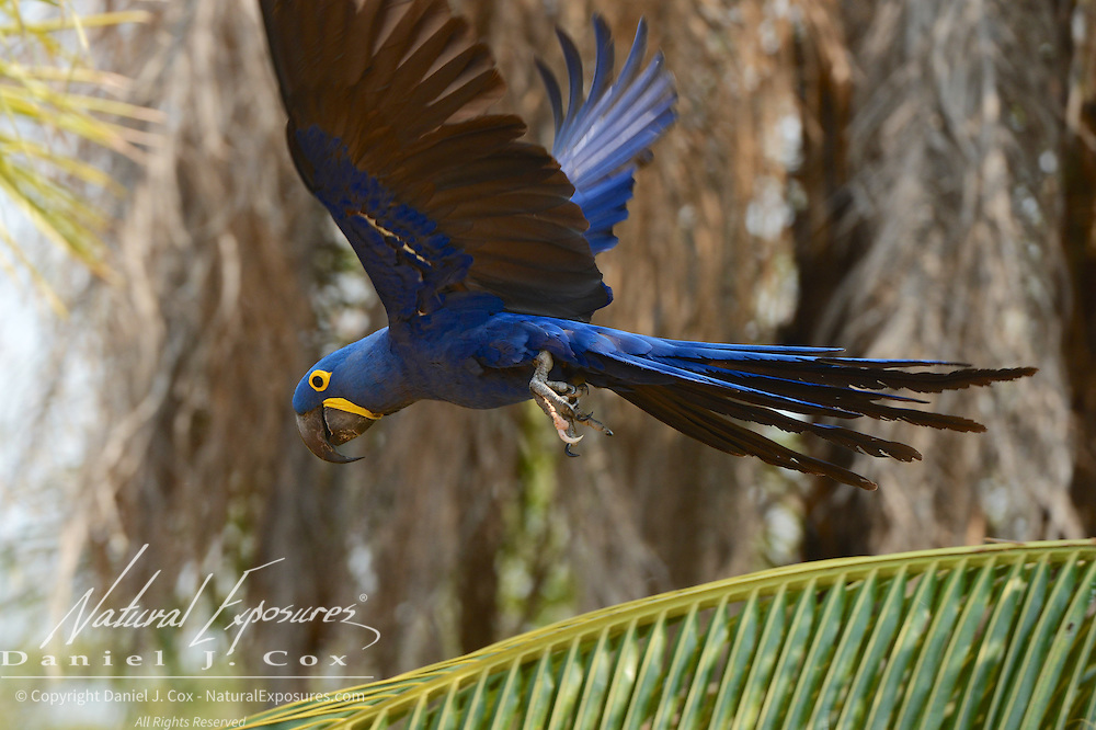 Hyacinth Macaw (Anodorhynchus hyacinthinus) Endangered Species. In flight. Pantanal. Brazil.