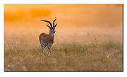 Grant's gazelle in the morning light of Maasai Mara, Kenya. Nikon D500, Nikon 600mm (900mm in full frame), f4, EV-0.67, 1/500sec, ISO250, Aperture mode