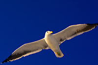 Seagull, Walvis Bay, Swakopmund, (Atlantic Ocean off of the Namib Desert coastline), Namibia