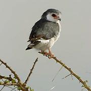 Pygmy Falcon(Poliohierax semito quatus). Tanzania. Africa.