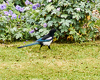 Eurasian Magpie (Pica pica). Hamburg, Germany. Image taken with a Nikon N1V2 camera and 18.5 mm lens.