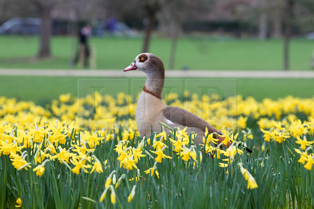 © Licensed to London News Pictures. 01/03/2017. London, UK. An Egyptian Goose forages among blooming yellow daffodils in St James's Park on the first day of meteorological Spring. Photo credit: Rob Pinney/LNP