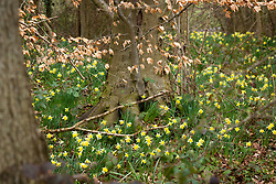 Wild daffodils growing in a woodland. Betty Daws Wood, Herefordshire. Narcissus pseudonarcissus