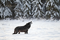 Wolf howling in the Canadian Rockies