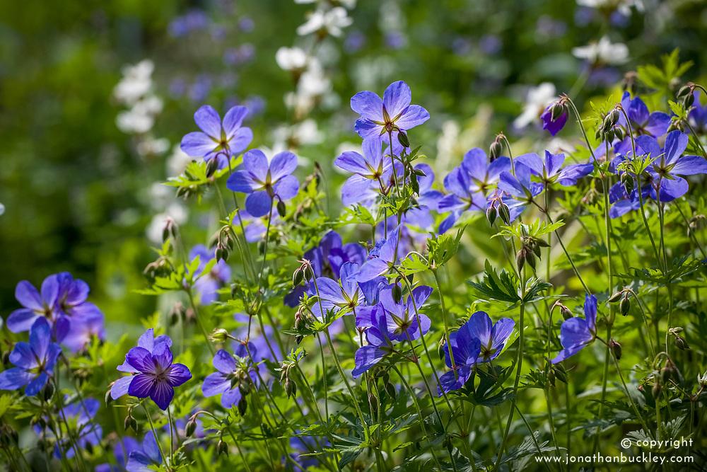 Geranium 'Johnson's Blue' AGM
