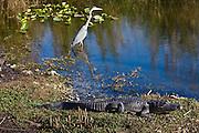 Great Blue Heron, Ardea herodias, river scene in the Everglades, Florida, USA