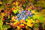 Wine grapes on Pelješac Peninsula, Dalmatian Coast, Croatia