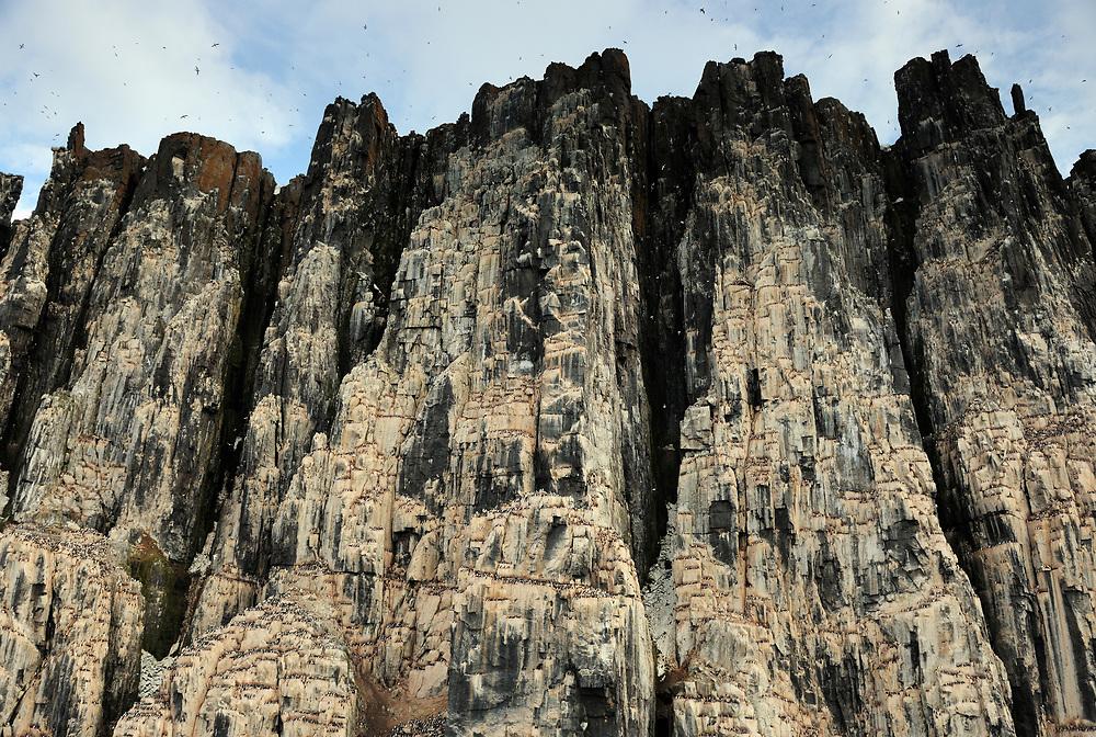 Bird cliff with Thick-billed Murre or Brünnich's Guillemot, Uria lomvia, Svalbard, Norway
