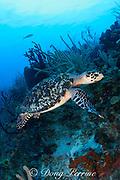 hawksbill sea turtle, Eretmochelys imbricata ( Endangered Species ), Turneffe Atoll, Belize, Central America ( Caribbean Sea )