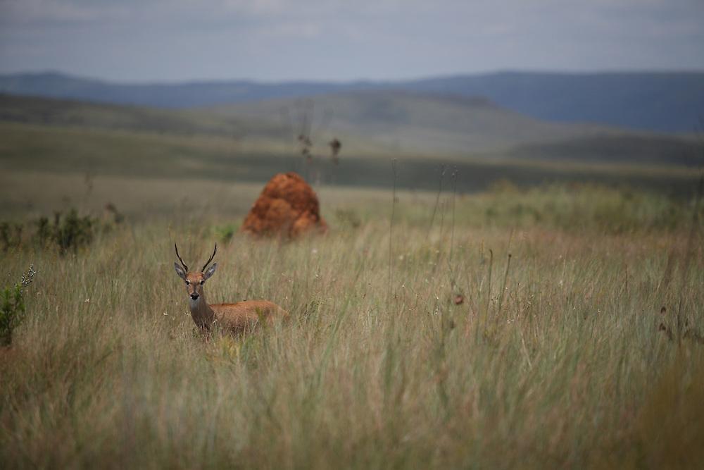 Sao Roque de Minas_MG, Brasil.<br /> <br /> Parque Nacional da Serra da Canastra em Sao Roque de Minas, Minas Gerais. Na foto um veado.<br /> <br /> Serra da Canastra National Park in Sao Roque de Minas, Minas Gerais. In the photo a deer.<br /> <br /> Foto: JOAO MARCOS ROSA / NITRO