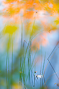 Maple leaf (Acer species) and bullrush, October, afternoon light, autumn pond, Cheshire County, New Hampshire, USA