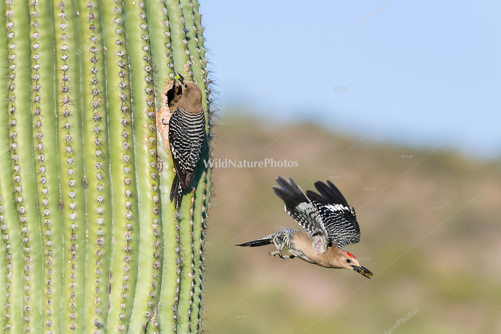 A male Gila Woodpecker (Melanerpes uropygialis) flies out of a nest in a Saguaro (Carnegiea gigantea), while the female brings food to the young. Arizona