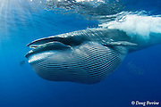 Bryde's whale, Balaenoptera brydei or Balaenoptera edeni, with throat pleats expanded after feeding on baitball of sardines, Sardinops sagax, off Baja California, Mexico ( Eastern Pacific Ocean ); baleen fringe visible, hanging from open jaw