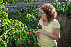 Pruning a cherry tree. Shortening a side shoot