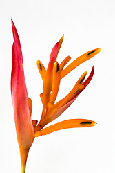 Heliconia, Golden Torch#3