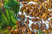 Eel grass and kelp, Tongue Point Marine Sanctuary, Strait of Juan de Fuca, Clallam County, Olympic Peninsula, WA. USA