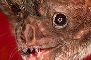 Deu, Deutschland: Vampirfledermaus (Desmodus rotundus), Portraet, close-up, Universitaet Bonn, Nordrhein-Westfalen | DEU, Germany: Vampire Bat (Desmodus rotundus), portrait, close-up, university of Bonn, North Rhine-Westphalia